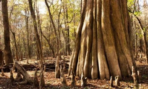 congaree big bald cypress