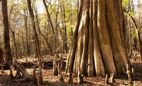 congaree big bald cypress